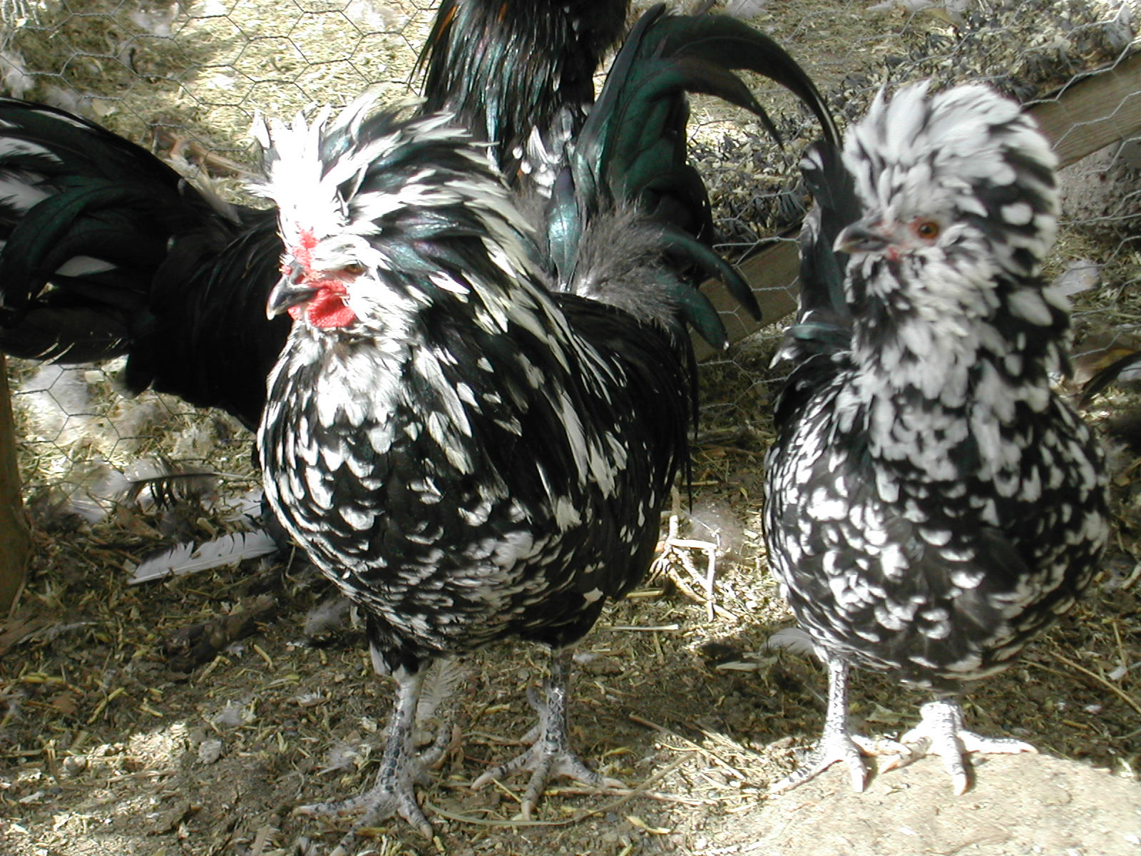 Bantam Mottled Houdan bantams