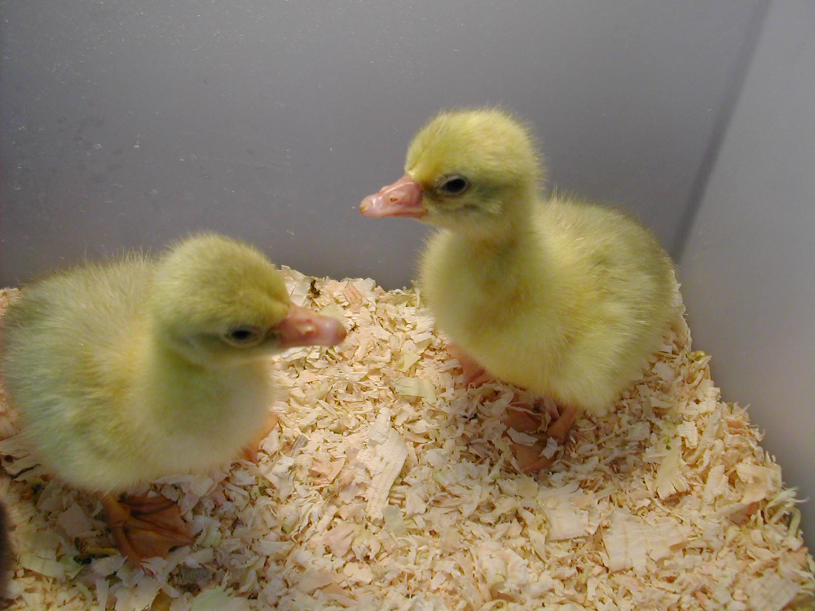 Freshly hatched Sebbies