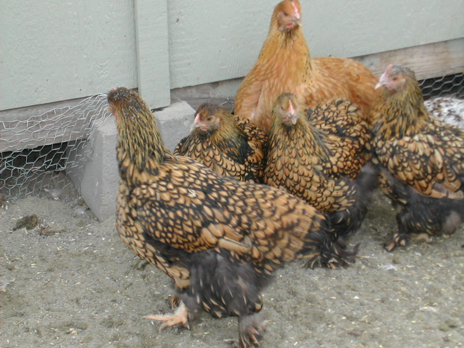 Golden Laced Hens