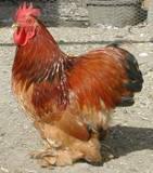 Red Columbian Cochin Bantams